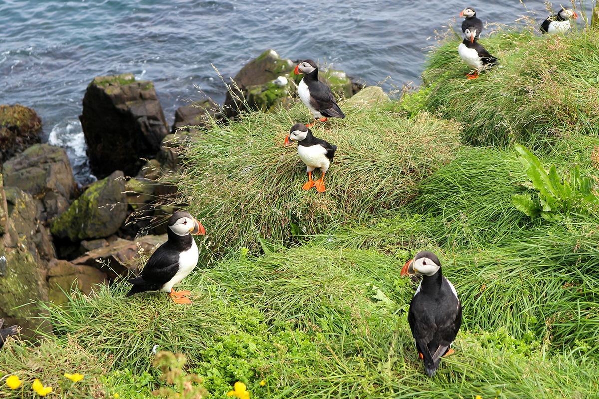 Papegaaiduikers spotten in IJsland